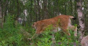 Конец-вверх европейского рыся идя в лес на лете видеоматериал
