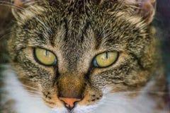 Конец-вверх европейской стороны ` s кота, 2 года старого стоковая фотография rf