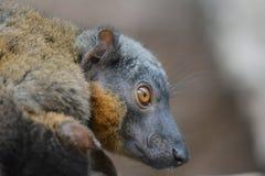 Конец-вверх лемура мангусты Стоковая Фотография RF