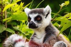 Конец-вверх лемура Мадагаскара Стоковые Изображения RF