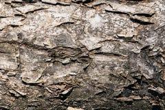 Конец-вверх естественной предпосылки текстуры расшивы березы Древесина дерева березы Стоковая Фотография RF