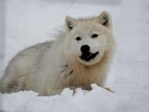 Конец-вверх ледовитого волка есть в снеге Стоковая Фотография RF