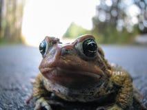 Конец-вверх жабы Стоковое Изображение RF