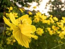 Конец-вверх желтых цветка и паука на весне Стоковая Фотография RF