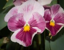 Конец-вверх 2 Желт-бургундский pansies цветка стоковое фото