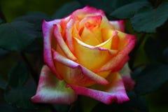 Конец-вверх желт-розового поднял Стоковая Фотография