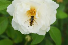 Конец-вверх желт-черной кавказской мухы hoverfly рода d стоковые изображения