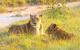 Конец вверх женских африканских льва и новичка в южно-африканской воле Стоковое Фото
