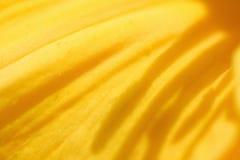 Конец-вверх желтого лепестка лилии Стоковые Изображения RF
