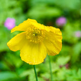Конец-вверх желтого мака Welsh в природе с запачканной предпосылкой Стоковое Изображение RF