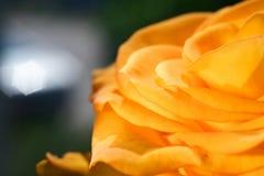Конец-вверх желтых роз бутона Стоковое фото RF