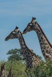 Конец-вверх жирафа 2 бок о бок над деревьями Стоковое фото RF