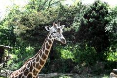 Конец-вверх жирафа головной Стоковая Фотография