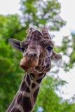 Конец-вверх жирафа перед некоторыми зелеными деревьями, смотря t Стоковые Фото