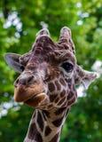 Конец-вверх жирафа перед некоторыми зелеными деревьями, смотря t Стоковое Фото