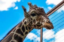 Конец-вверх жирафа, смотря камеру против голубого sk Стоковые Фото