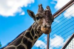 Конец-вверх жирафа, смотря камеру против голубого sk Стоковые Изображения RF