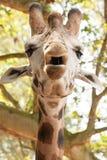 Конец-вверх жирафа Стоковые Изображения
