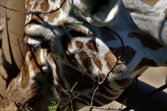 Конец-вверх жирафа Стоковая Фотография RF