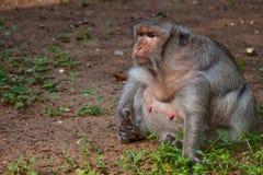 Конец-вверх жирной обезьяны попрошайки на Angkor Wat стоковая фотография