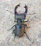 Конец-вверх жука рогача Стоковые Фотографии RF