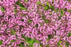 Конец-вверх завода flowerbed травы, обильно зацветая с небольшими пурпурны стоковое изображение rf