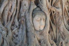 Конец-вверх загубил статую Будды головную поглощенную между корнями дерева на историческом парке, назначении перемещения на provi Стоковые Изображения RF