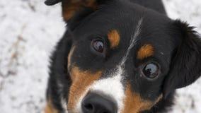 Конец-вверх замедленного движения Собаку смотрит камеру, удивляют и отжимает его уши Собака смотрит уныло на предпринимателе сток-видео
