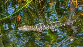Конец вверх заплывания аллигатора младенца в заболоченном месте Флориды Стоковая Фотография RF