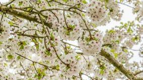 Конец-вверх зацветая вишневых деревьев Стоковые Изображения