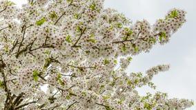 Конец-вверх зацветая вишневых деревьев Стоковое фото RF