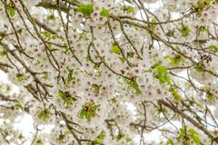 Конец-вверх зацветая вишневых деревьев Стоковые Фотографии RF