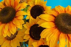 Конец-вверх зацветенных солнцецветов Стоковые Фото