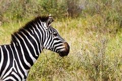 Конец-вверх зебры в национальном парке Serengeti, Танзании Стоковое Изображение