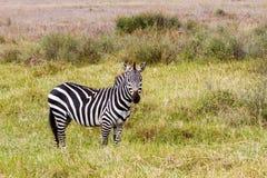 Конец-вверх зебры в национальном парке Serengeti, Танзании Стоковое Изображение RF