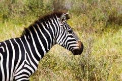 Конец-вверх зебры в национальном парке Serengeti, Танзании Стоковое фото RF