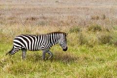 Конец-вверх зебры в национальном парке Serengeti, Танзании Стоковое Фото