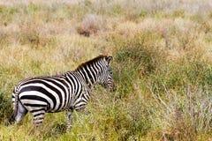 Конец-вверх зебры в национальном парке Serengeti, Танзании Стоковая Фотография