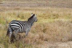 Конец-вверх зебры в национальном парке Serengeti, Танзании Стоковые Фотографии RF
