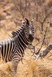 Конец-Вверх зебры в саванне, Южной Африке, парке Mapungubwe Стоковое фото RF