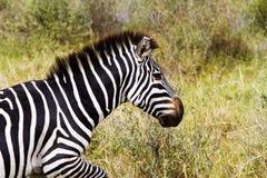 Конец-вверх зебры в Serengeti, Танзании Стоковое Изображение RF