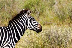 Конец-вверх зебры в Serengeti, Танзании Стоковые Изображения RF