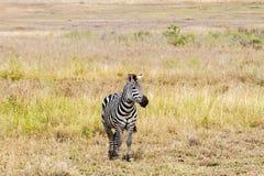 Конец-вверх зебры в Serengeti, Танзании Стоковые Фотографии RF