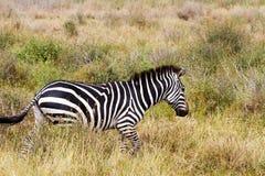Конец-вверх зебры в Serengeti, Танзании Стоковая Фотография