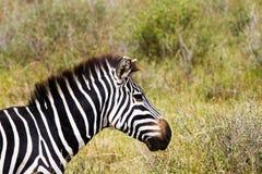 Конец-вверх зебры в Serengeti, Танзании Стоковое Изображение