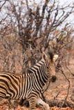 Конец-Вверх зебры младенца в саванне, Южной Африке, парке Mapungubwe Стоковая Фотография RF