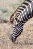 Конец-вверх зебры Burchells пася Стоковое фото RF