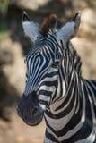 Конец-вверх зебры Grevy в dappled солнечном свете Стоковые Фотографии RF