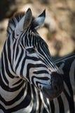 Конец-вверх зебры Grevy в dappled солнечности Стоковое Изображение
