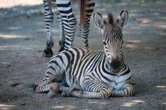 Конец-вверх зебры Grevy лежа матерью Стоковая Фотография